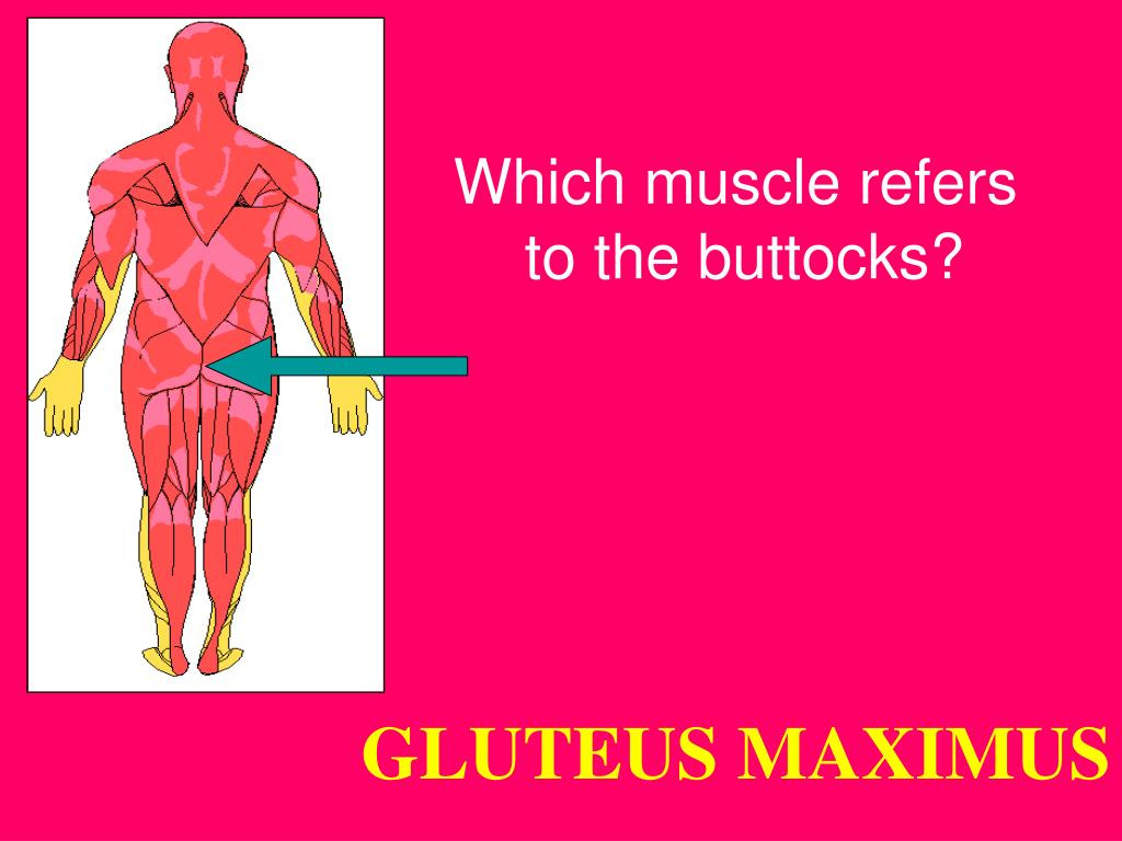 Which muscle refers