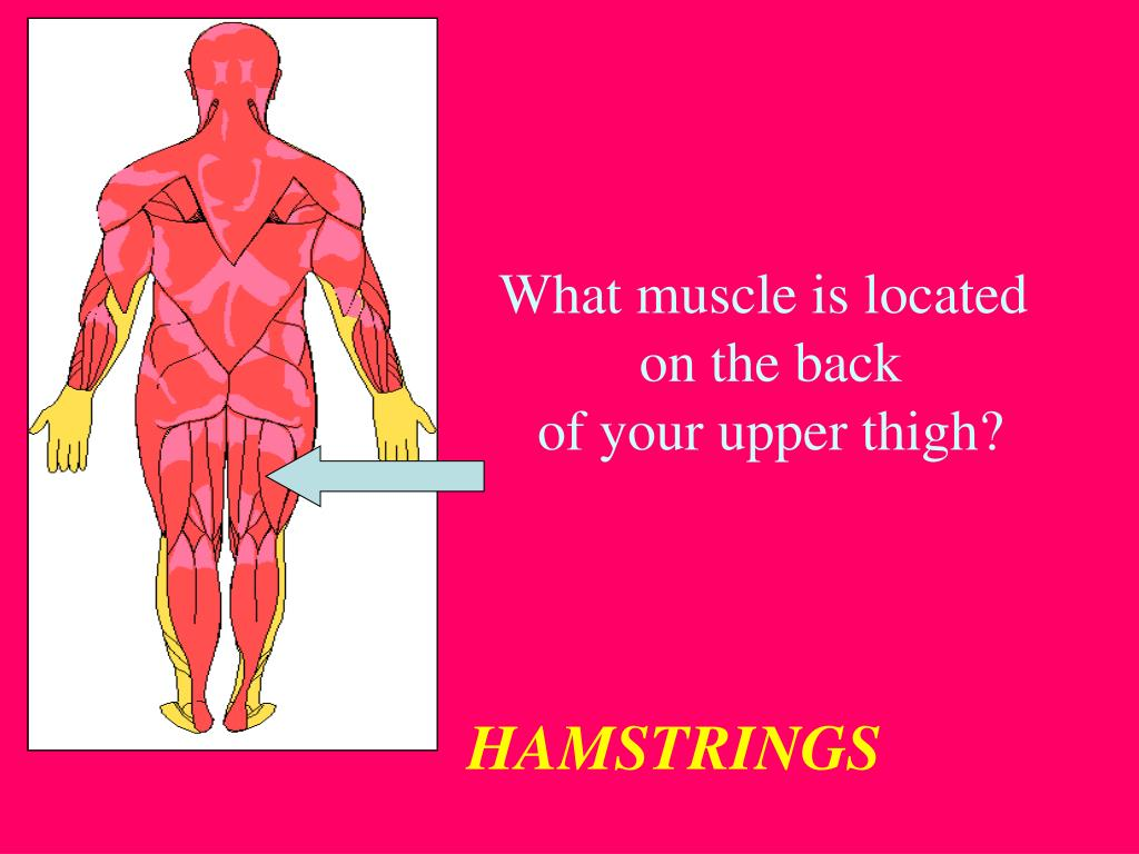 What muscle is located