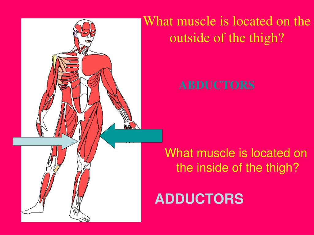 What muscle is located on the