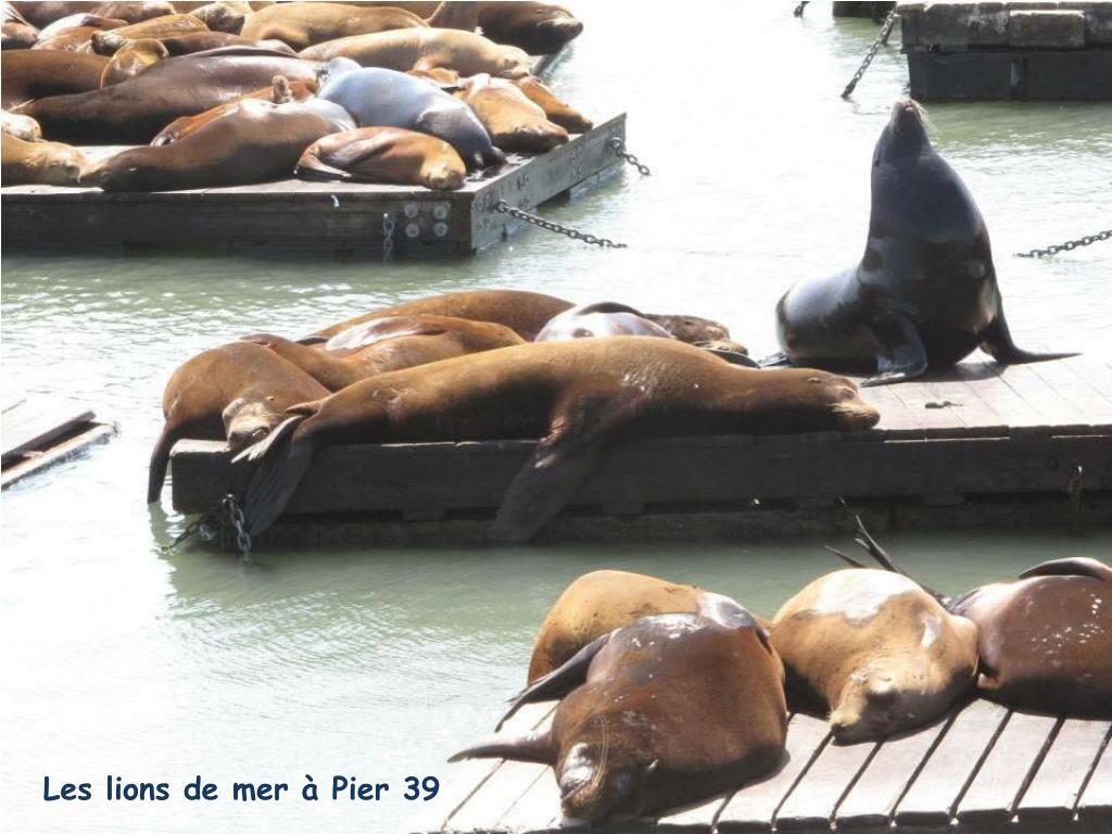 Les lions de mer à Pier 39