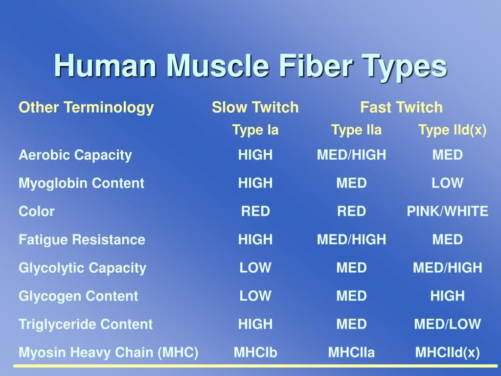 Human Muscle Fiber Types