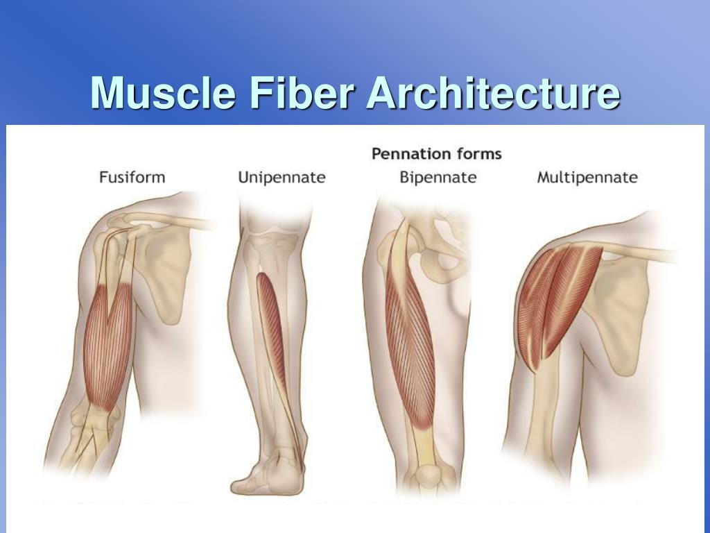 Muscle Fiber Architecture