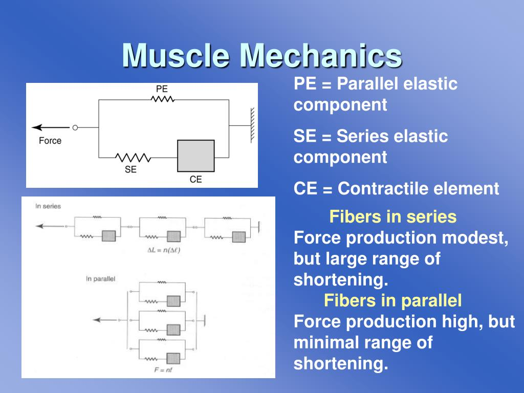 The range of motion and amount of force a muscle can generate is largely determined by the arrangement of the muscle fibers