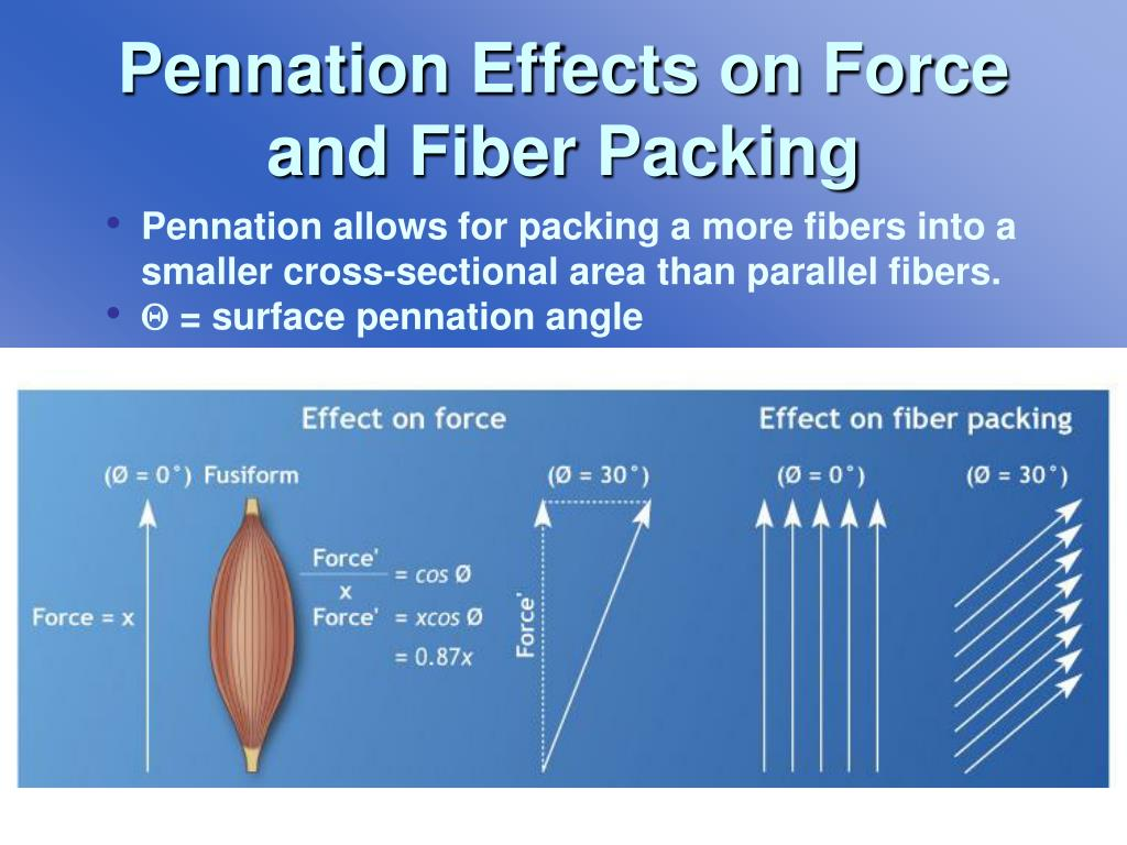 Pennation Effects on Force and Fiber Packing