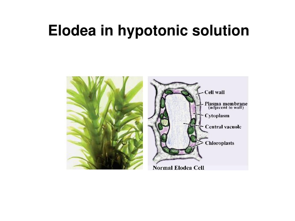 Elodea in hypotonic solution