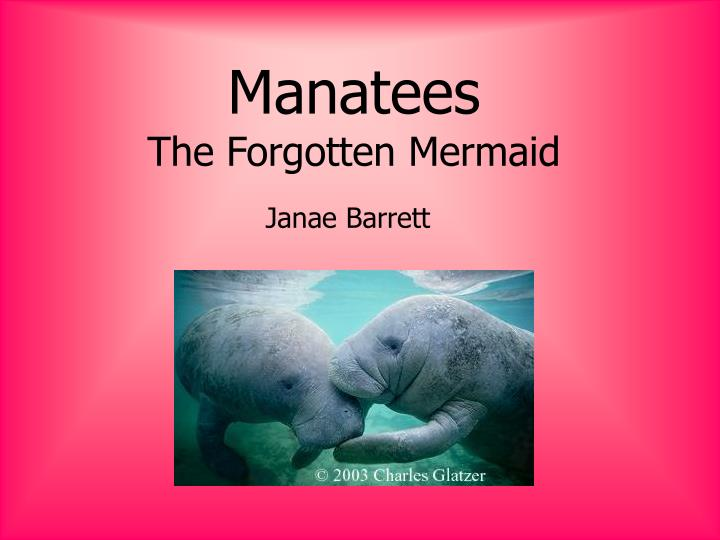 Manatees the forgotten mermaid