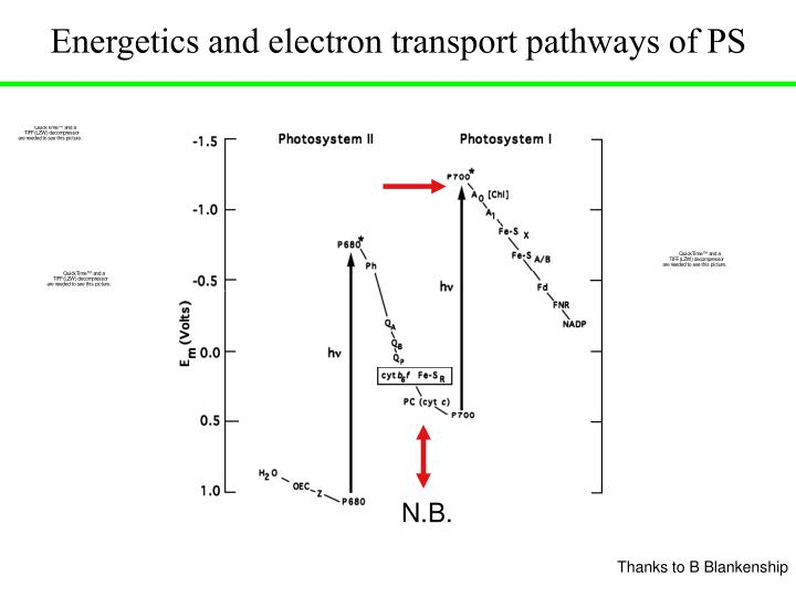 Energetics and electron transport pathways of PS