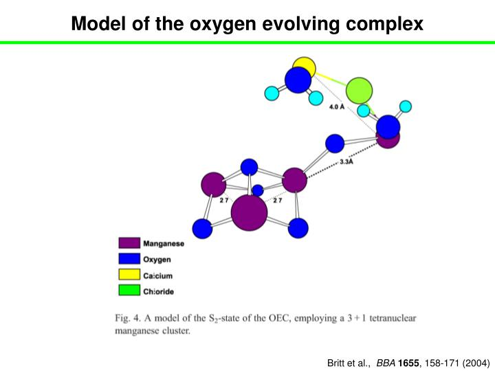 Model of the oxygen evolving complex