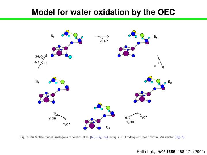 Model for water oxidation by the OEC