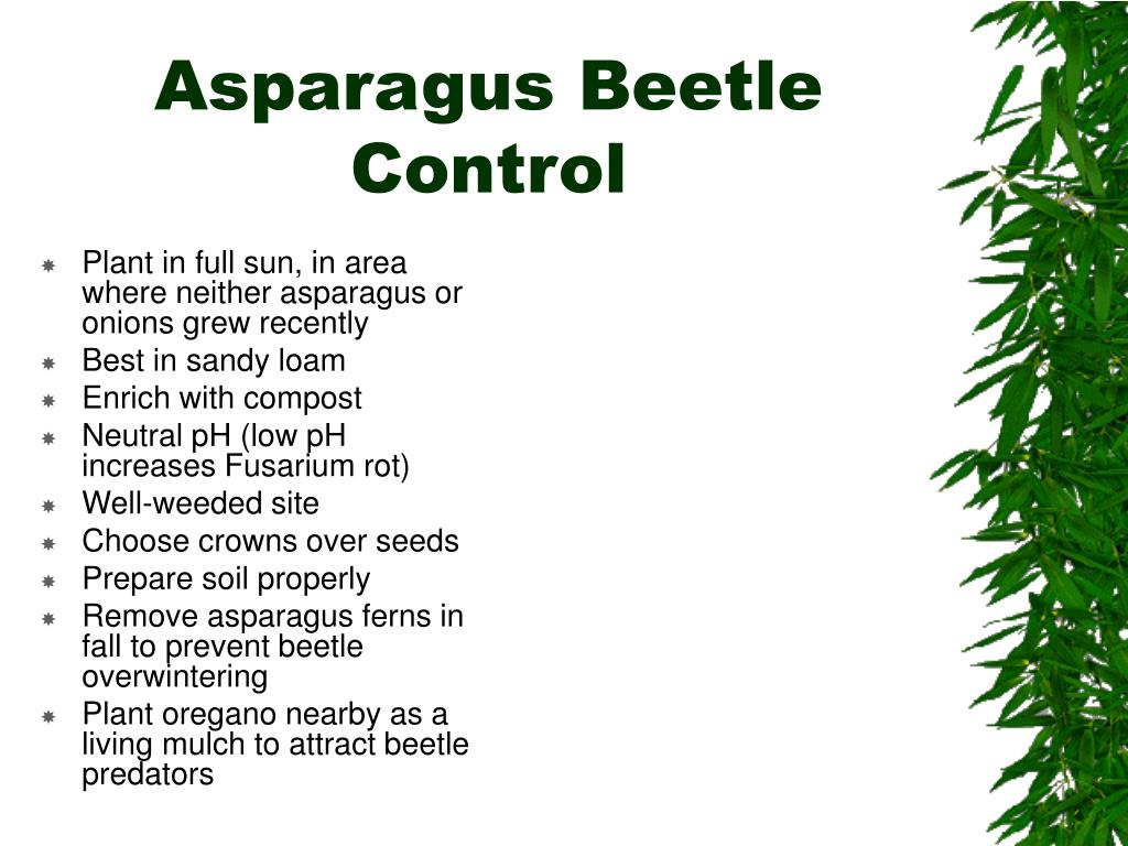 Asparagus Beetle Control