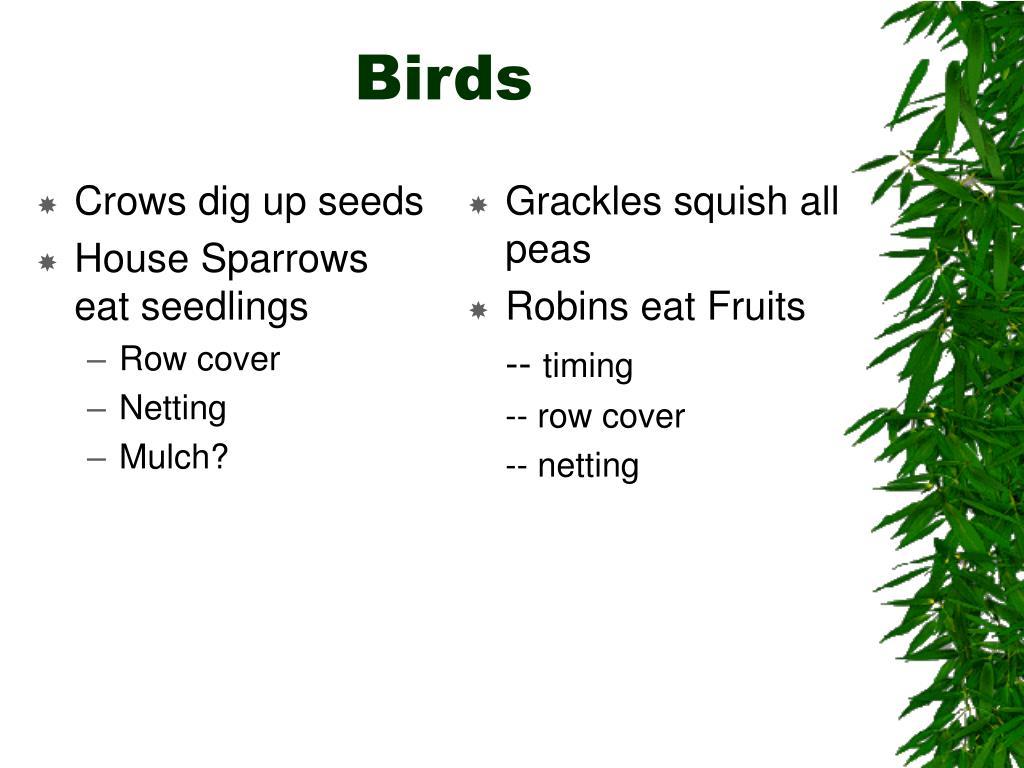 Crows dig up seeds