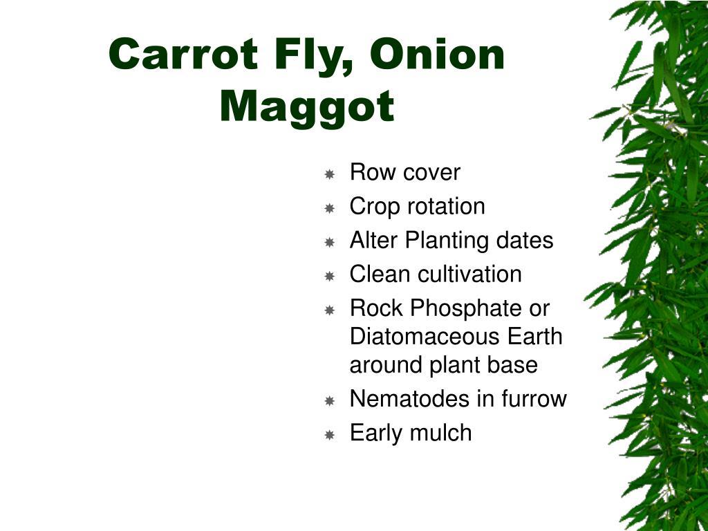 Carrot Fly, Onion Maggot