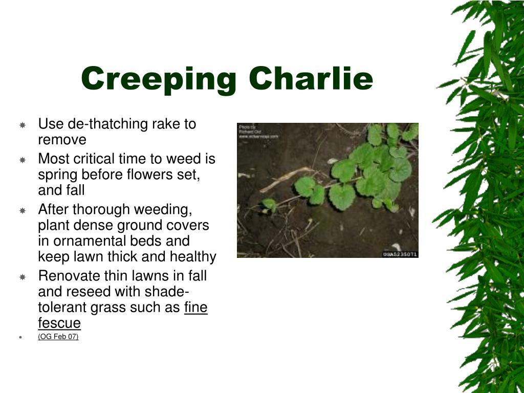 Creeping Charlie
