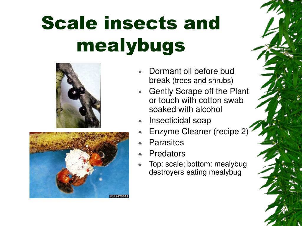 Scale insects and mealybugs