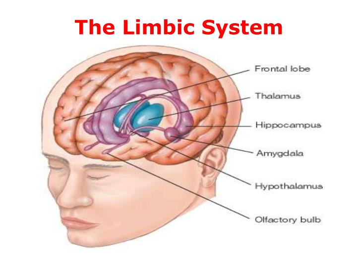 The limbic system