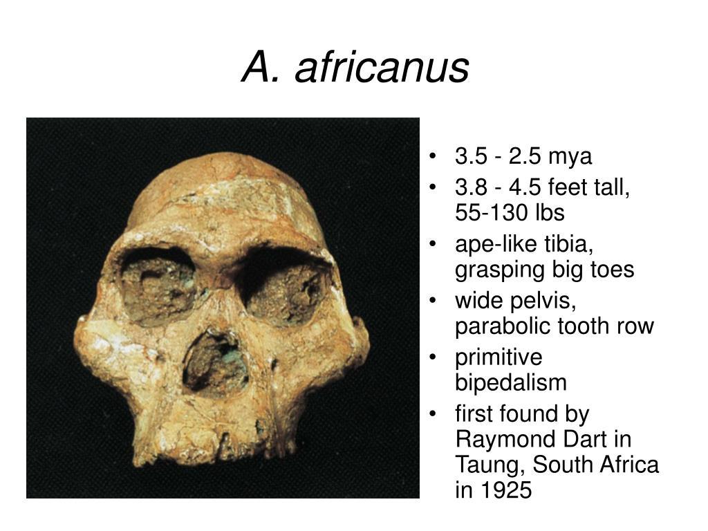 A. africanus