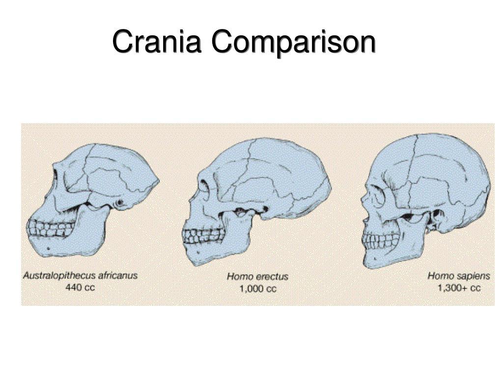 Crania Comparison