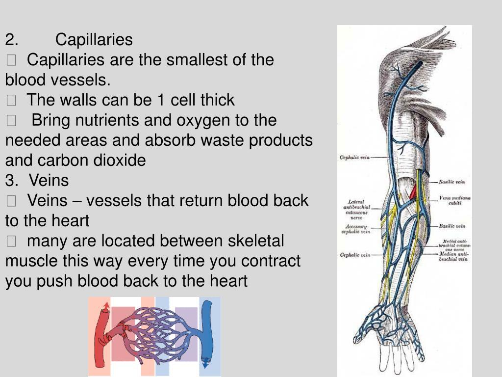 2.Capillaries