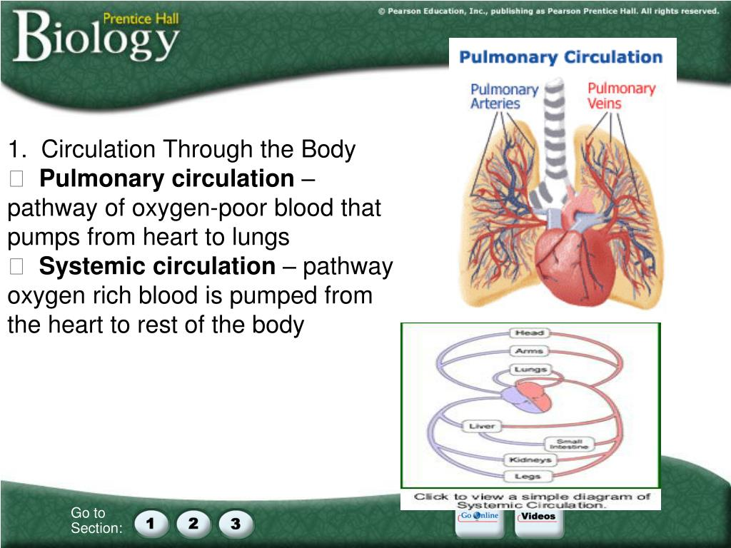 1.  Circulation Through the Body