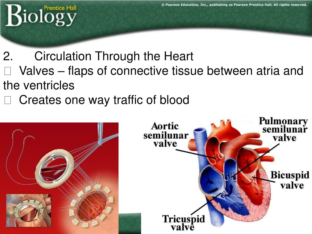 2.	Circulation Through the Heart