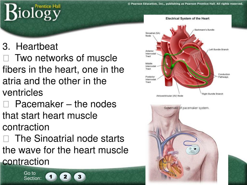 3.  Heartbeat