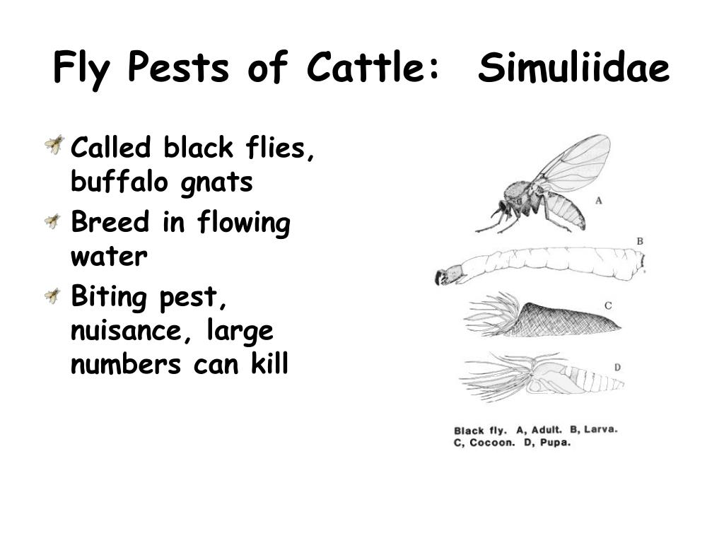 Fly Pests of Cattle:  Simuliidae