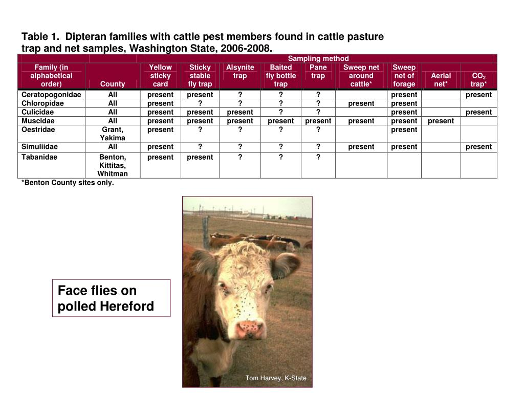Face flies on polled Hereford