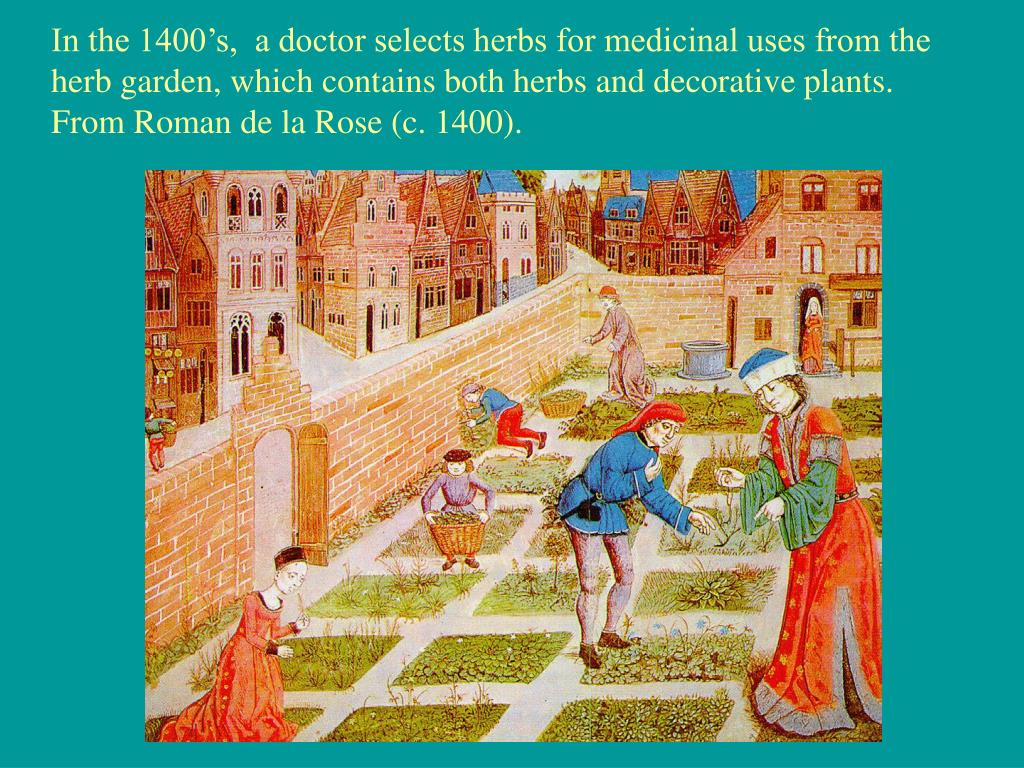 In the 1400's,  a doctor selects herbs for medicinal uses from the
