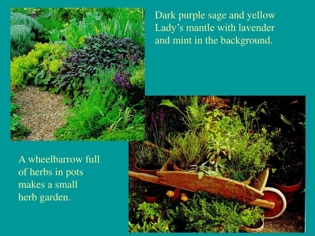 Dark purple sage and yellow