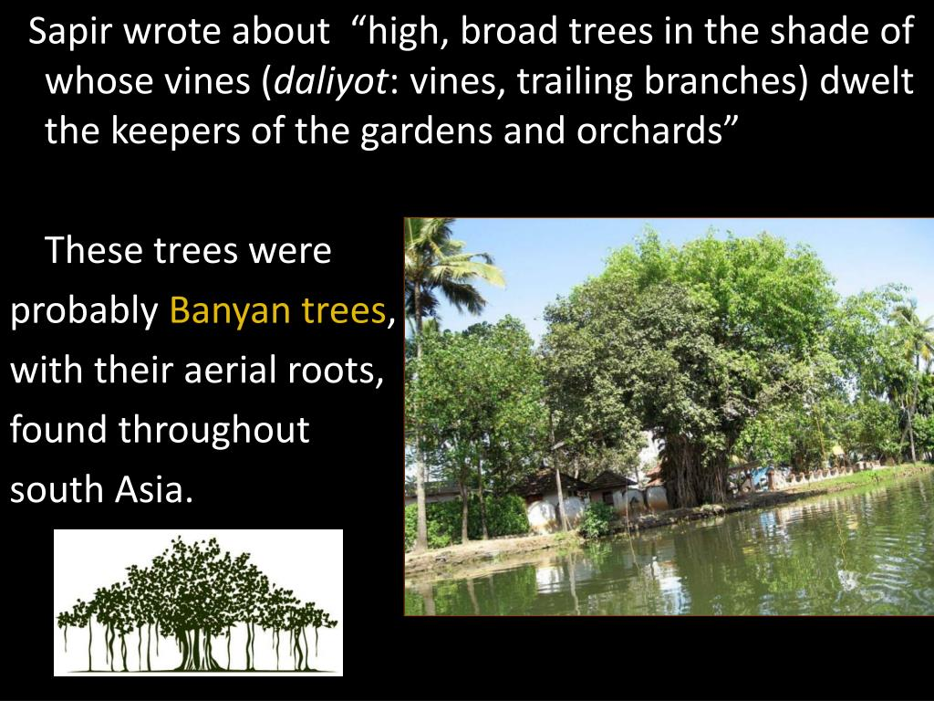 "Sapir wrote about  ""high, broad trees in the shade of whose vines ("