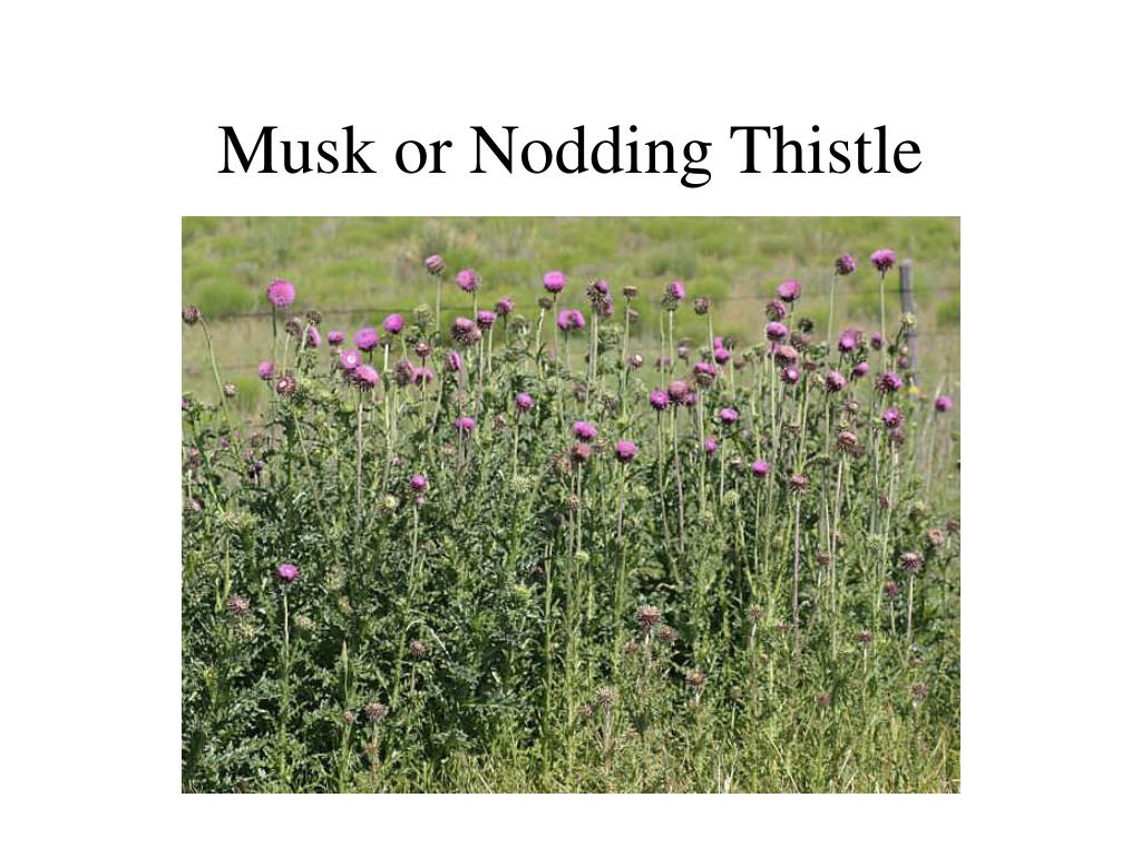 Musk or Nodding Thistle