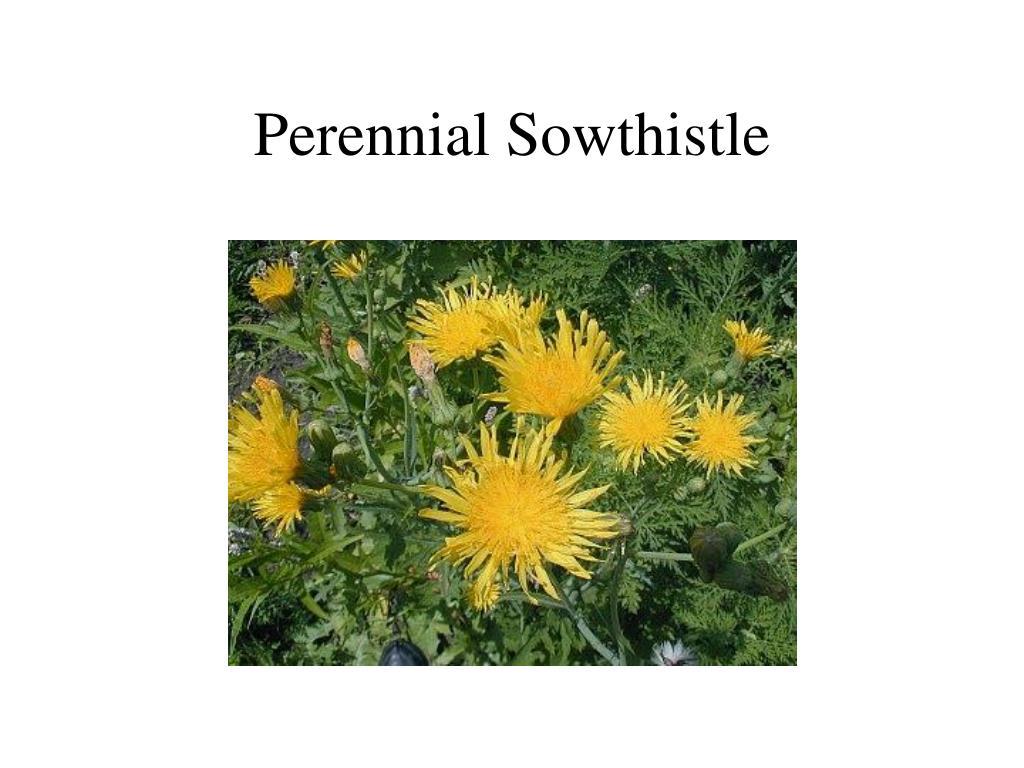 Perennial Sowthistle