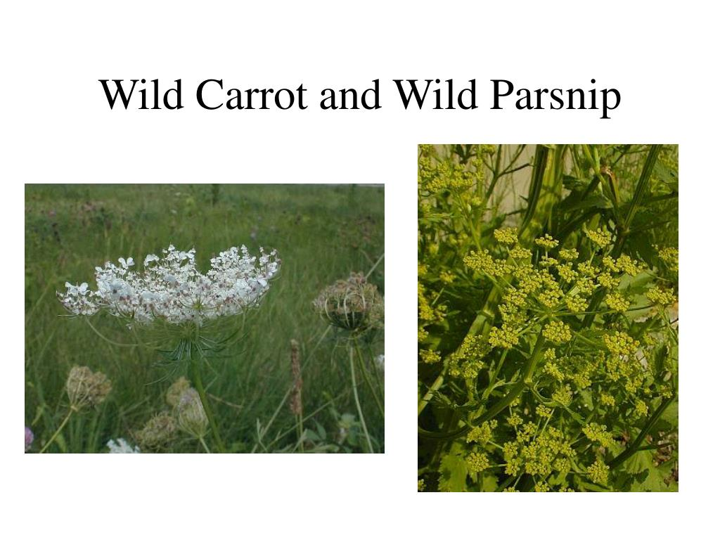 Wild Carrot and Wild Parsnip