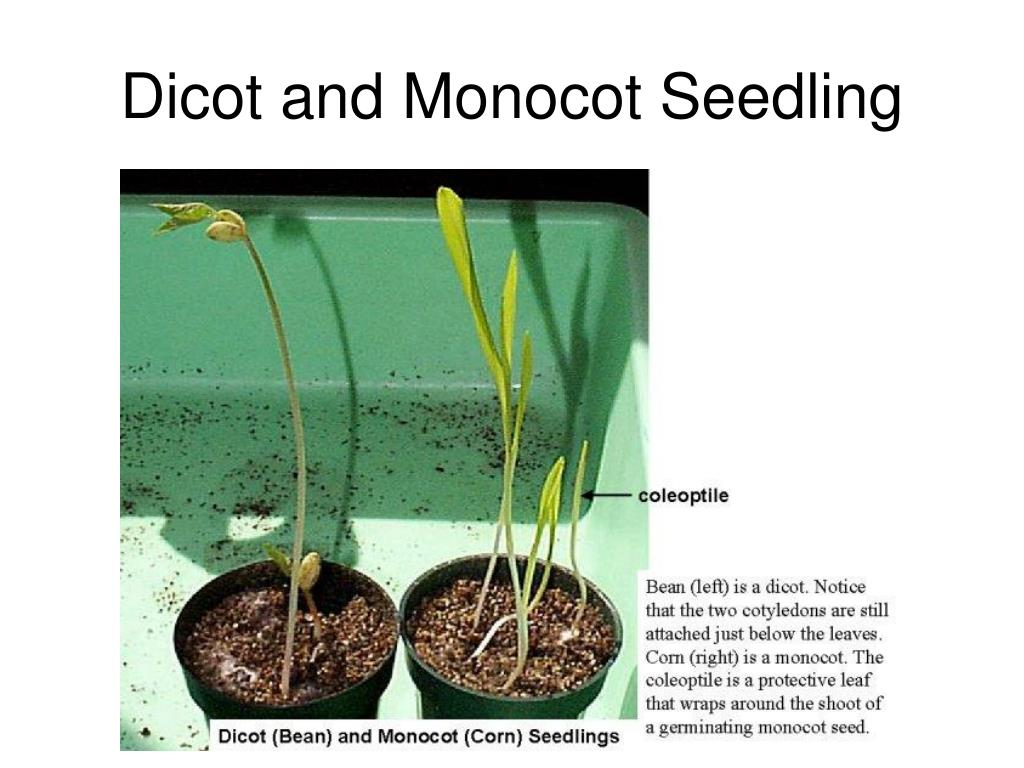 Dicot and Monocot Seedling