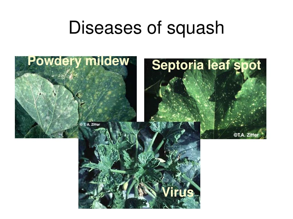 Diseases of squash