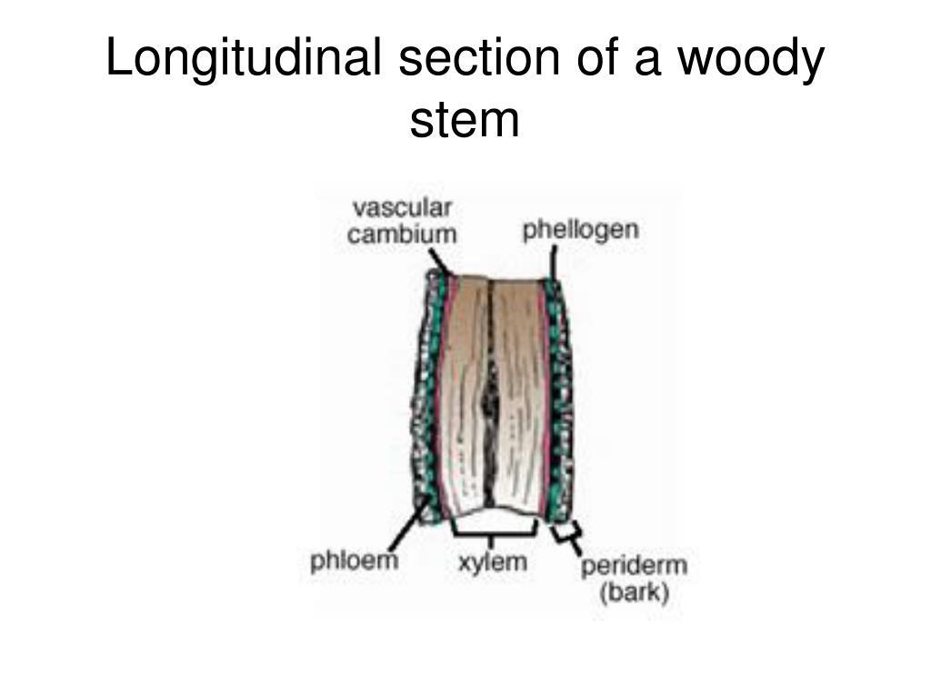 Longitudinal section of a woody stem