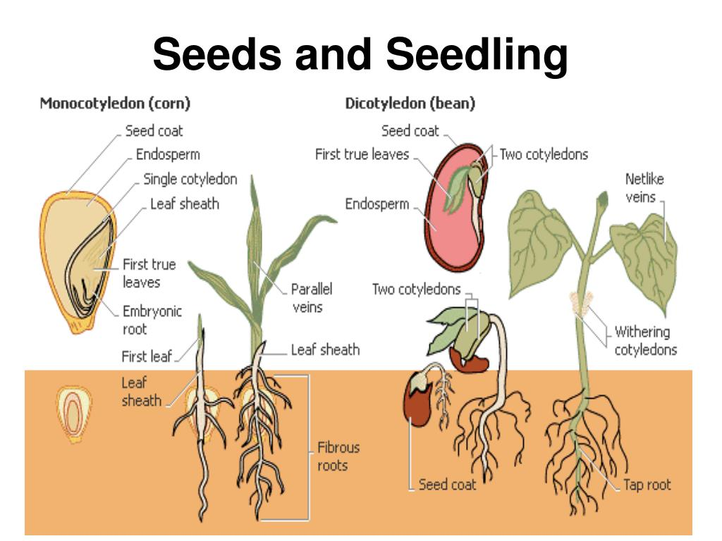Seeds and Seedling