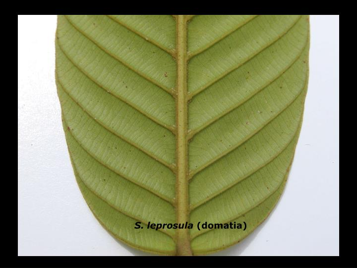 S. leprosula