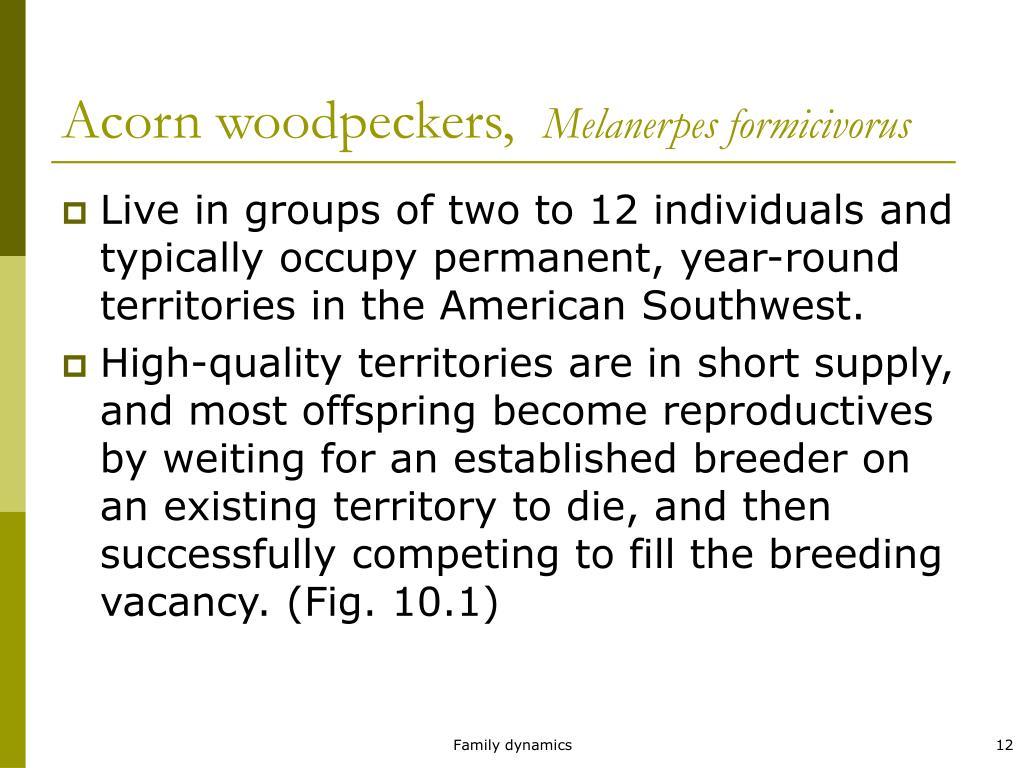 Acorn woodpeckers,