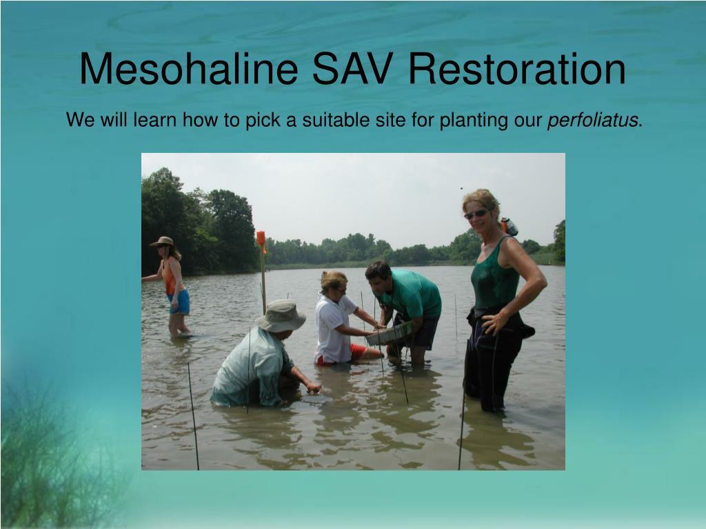 Mesohaline SAV Restoration