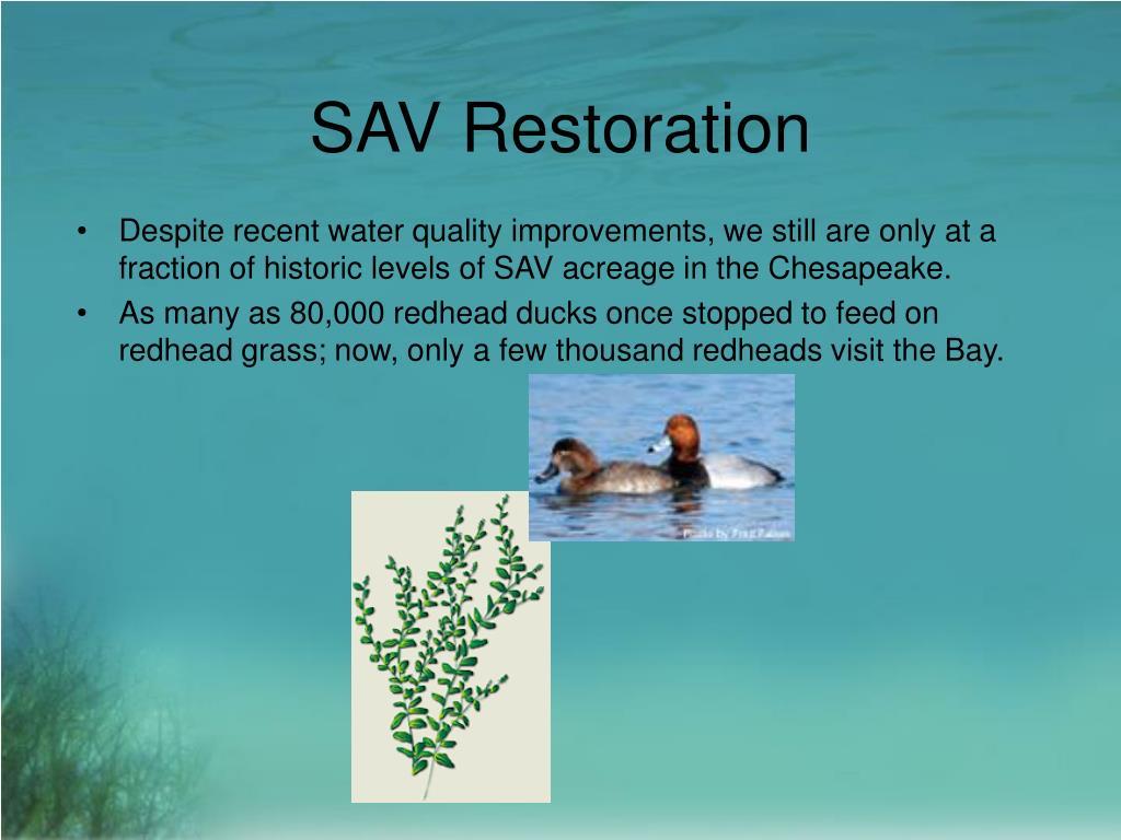 SAV Restoration