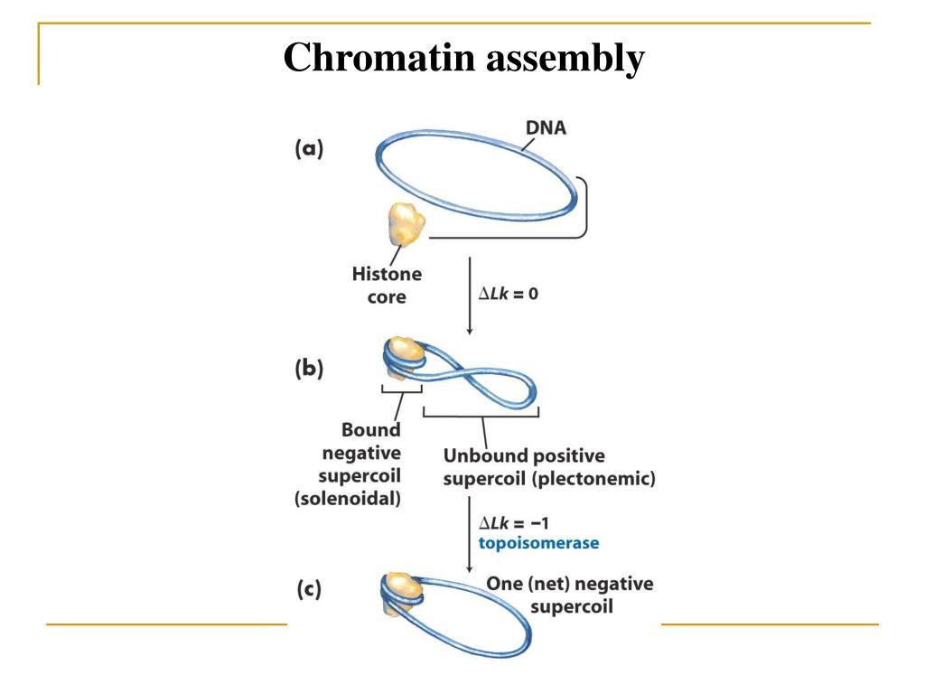 Chromatin assembly
