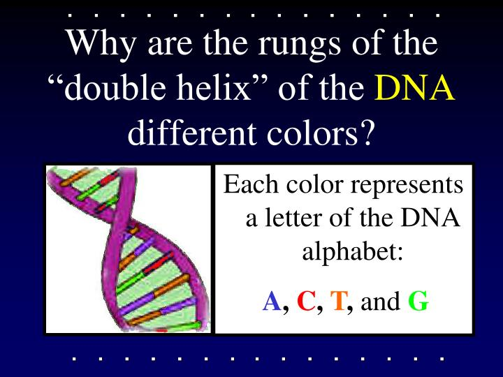 "Why are the rungs of the ""double helix"" of the"
