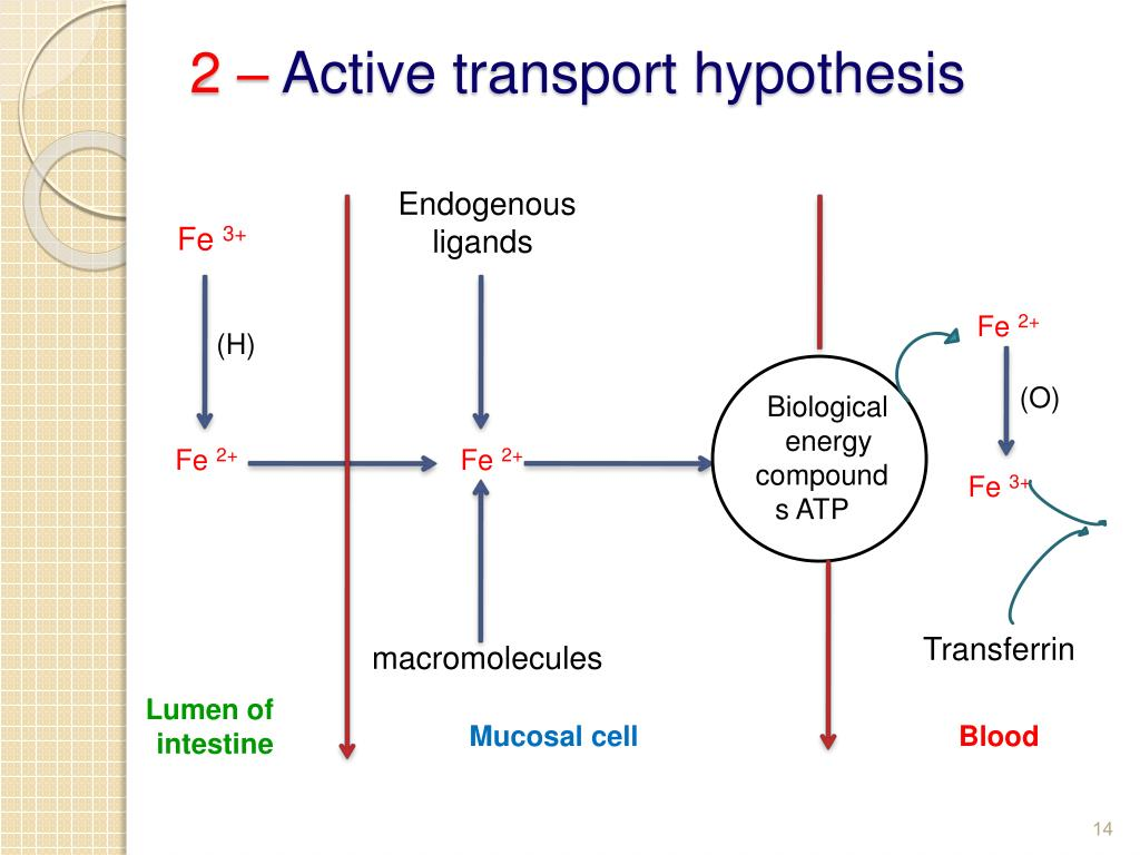 active transport lab report hypothesis Egg osmosis lab purpose/objectives: • tell the difference between passive and active transport have you ever placed ink into water and seen the ink slowly move throughout the water this egg osmosis lab report author: matthew tyrie.