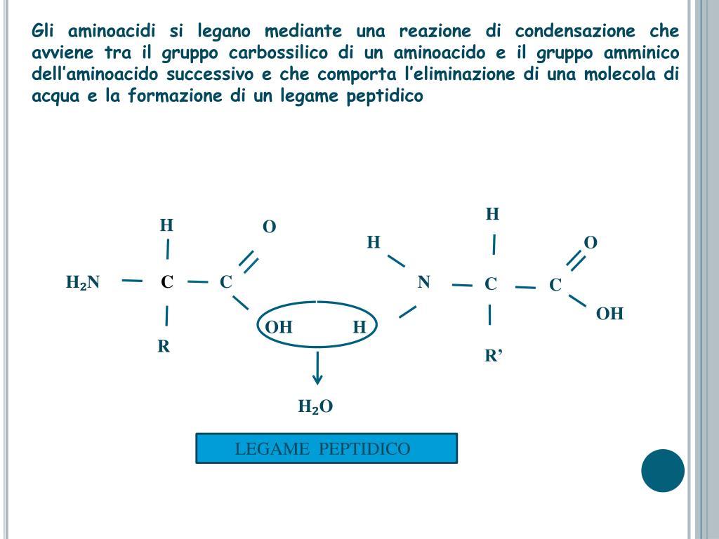 Gli aminoacidi si legano mediante una reazione di condensazione che avviene tra il gruppo carbossilico di un aminoacido e il gruppo amminico dell'aminoacido successivo e che comporta l'eliminazione di una molecola di acqua e la formazione di un legame peptidico