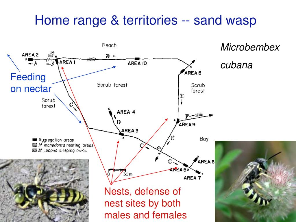 Home range & territories -- sand wasp