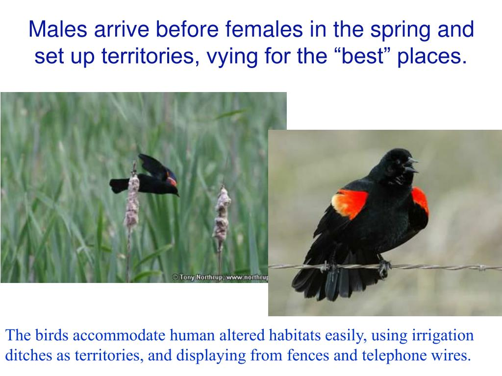"Males arrive before females in the spring and set up territories, vying for the ""best"" places."