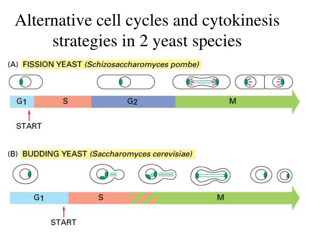 Alternative cell cycles and cytokinesis strategies in 2 yeast species