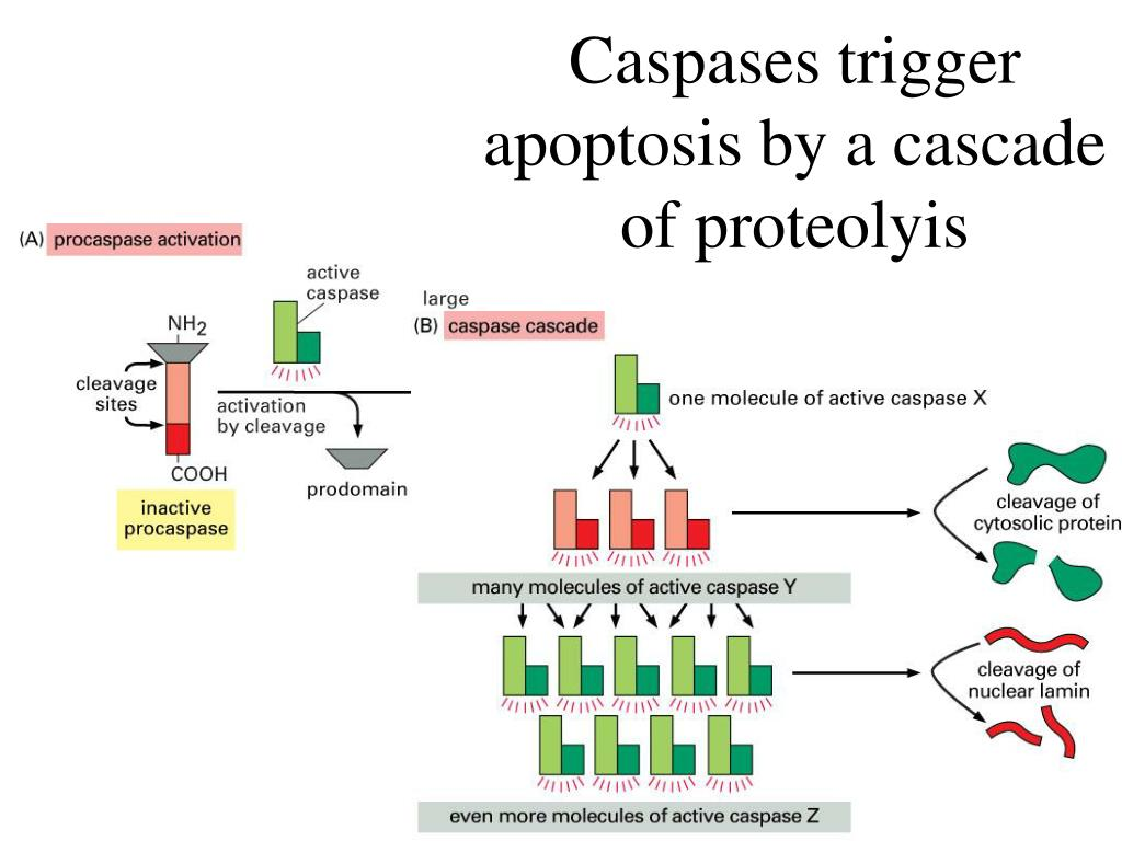 Caspases trigger apoptosis by a cascade of proteolyis