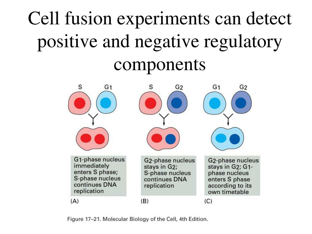 Cell fusion experiments can detect positive and negative regulatory components
